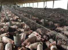 Anggaran pengadaan babi