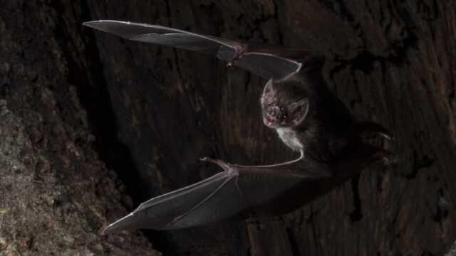 Kelelawar Vampir