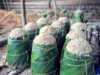 biofuel dari sagu